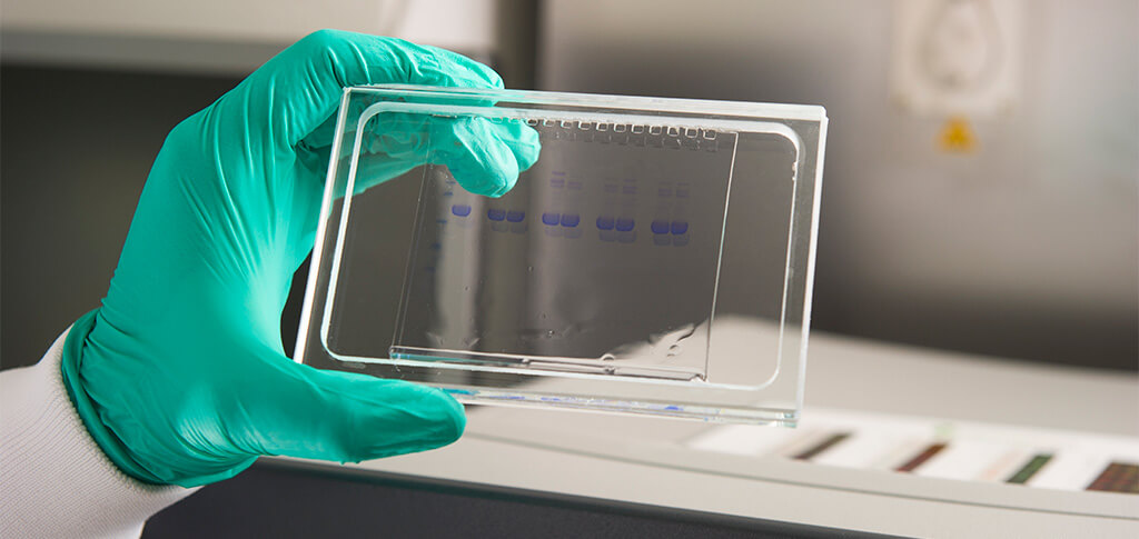 protein ID sds gel band